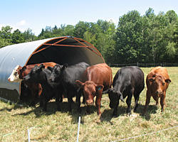 The cattle often stand in a chorus line