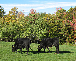 Two Angus in early fall
