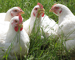 This is what we mean by pastured poultry. Chickens raised out on grass, in the sunshine, free to roam.