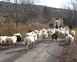 The llamas lead the way as Lisa brings the goats and sheep down the road to the next field
