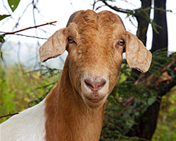 Some animals are natural leaders, like Toast, head of the goat herd © Photo by Beth Schneck