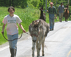 Walking the llamas and donkey from one end of the farm along the road to a far field.
