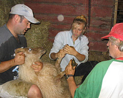 Trimming the hooves on sheep can take many hands, including intern Chris, farmhand Mike and John.