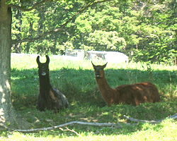 Llamas need shade on hot days. A species originally from high in the Andes in South America, they adapted to cool climates.