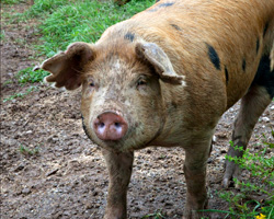 A happy pig with a cool, muddy face. © Photo by Beth Schneck