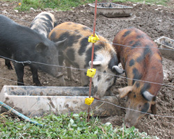 Ossabaw island pigs, just a generation or two away from being wild .. and it shows in their behavior!