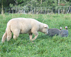 A curious lamb investigates the guinea hens. Don't get too close!
